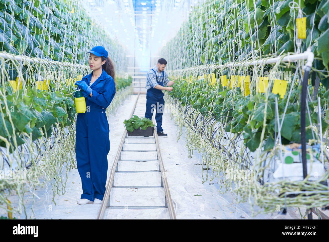 Two People Working  in Greenhouse - Stock Image