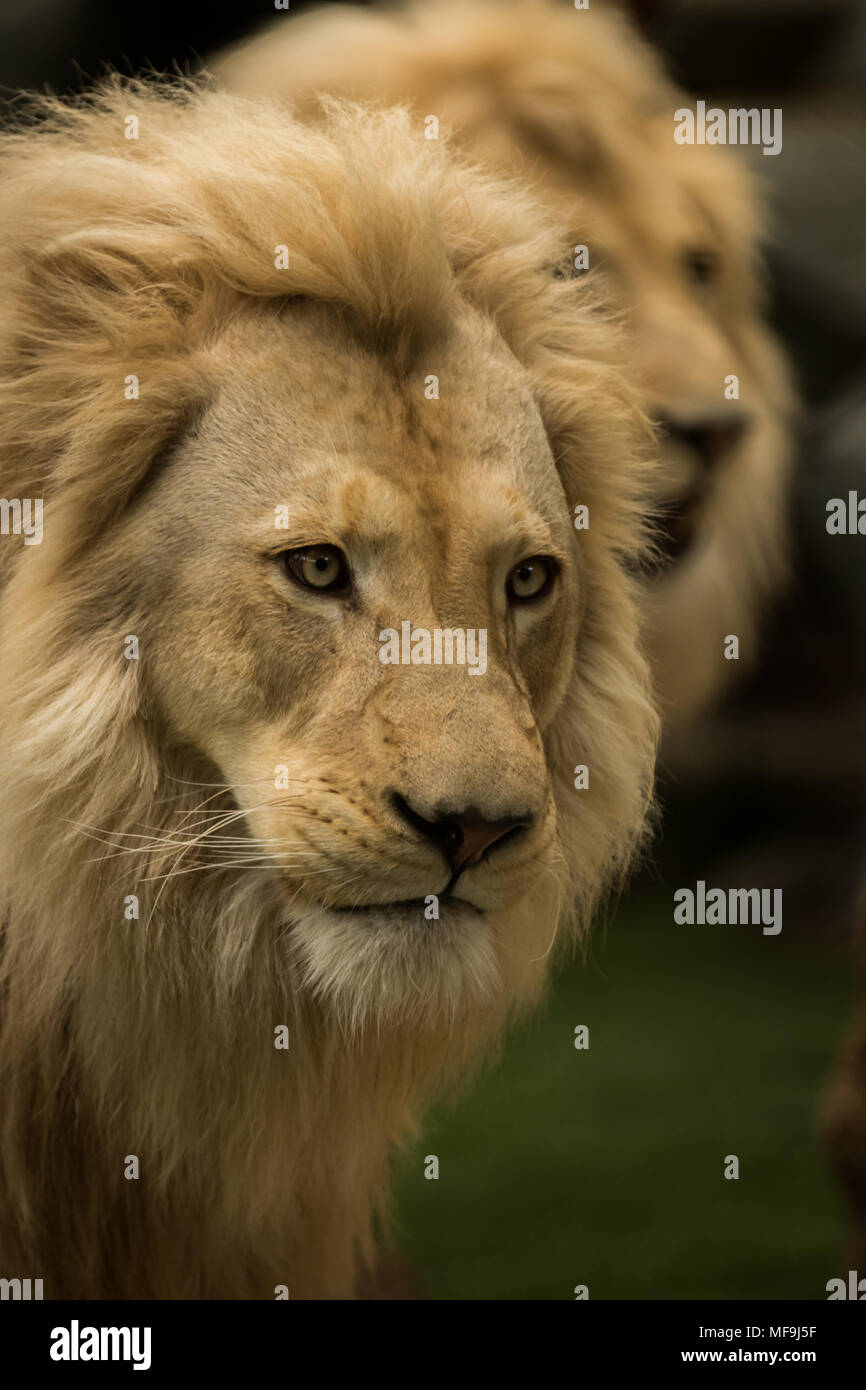 I photographed this beautiful Lion whilst it watched other passersby ...