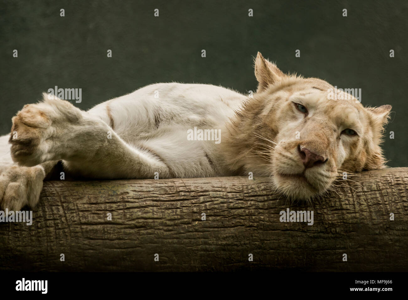 I shot the napping Tiger whilst it watched me half heartedly at the ...