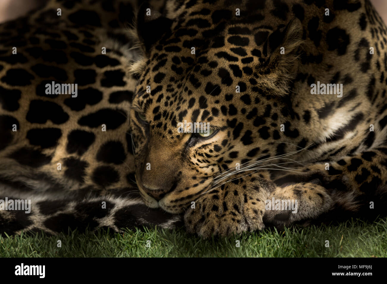 I photographed this stunning Leopard in between naps at the Mirage ...