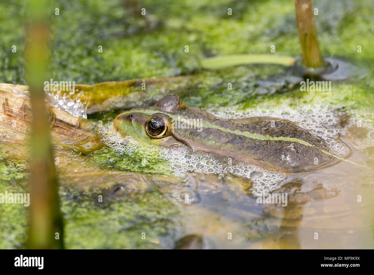 Marsh frog (Rana ridibunda) April 2018. A little croaking and plenty of frothing on the water around them. Mostly hiding in algae and vegetation. - Stock Image