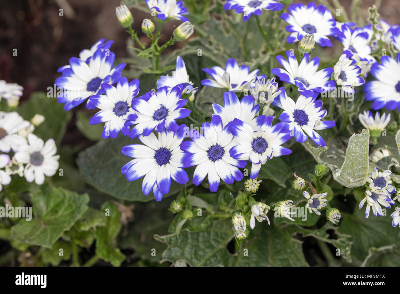Close up of blue and white flowering Cineraria Senetti - Stock Image