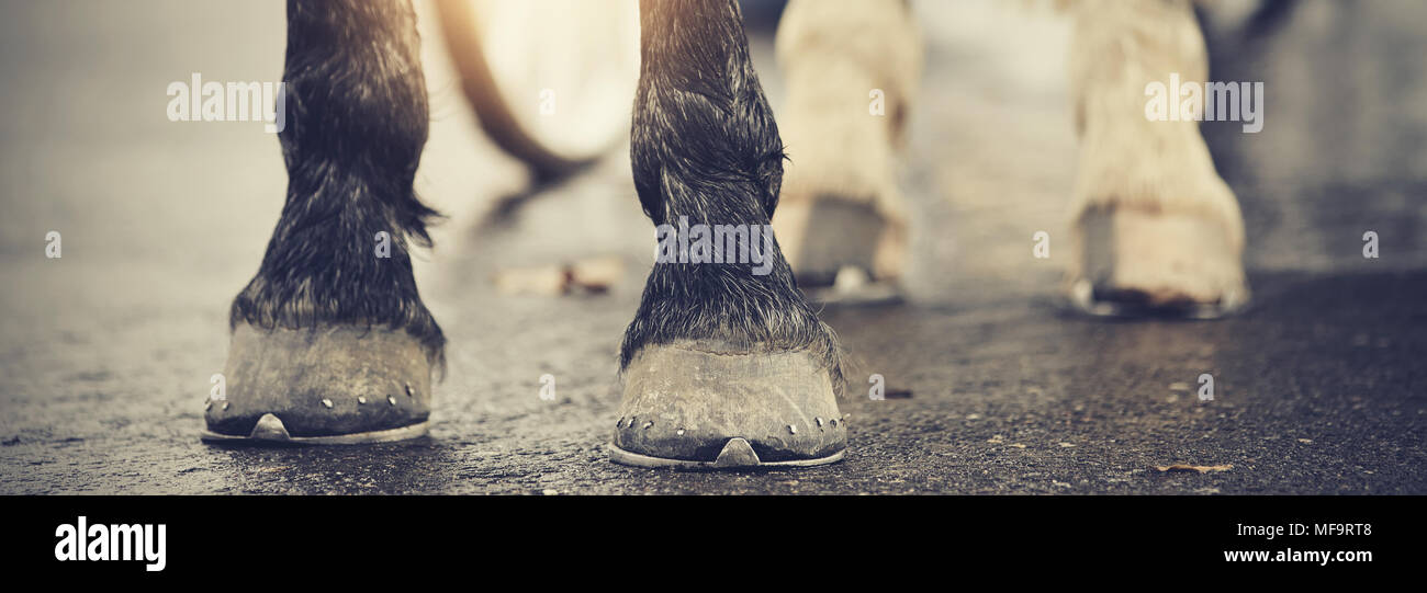 The hoofs with horseshoes. Hoofs of the horse standing on asphalt. Stock Photo