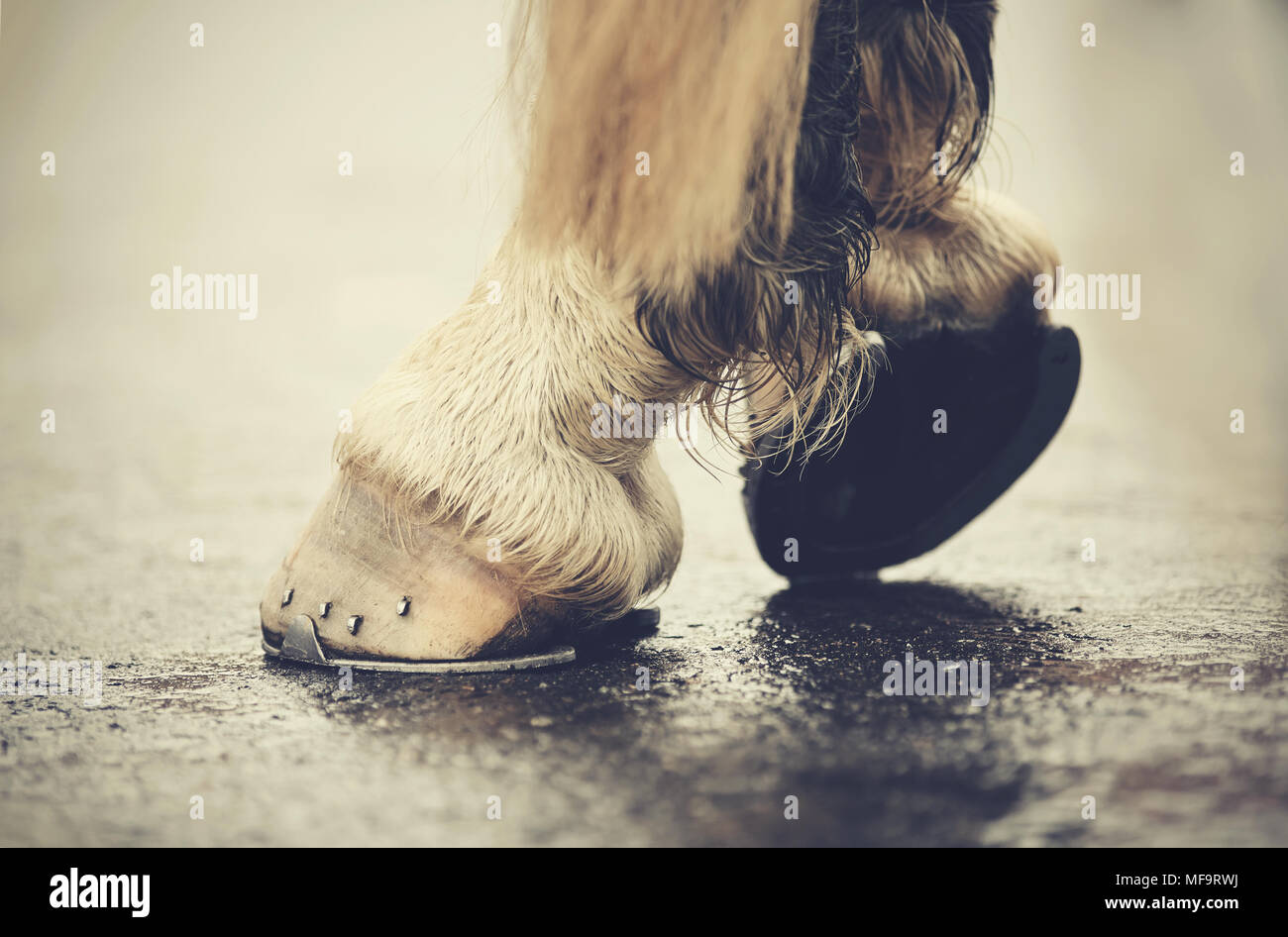 The hoofs with horseshoes. Hoofs of the horse standing on asphalt. - Stock Image