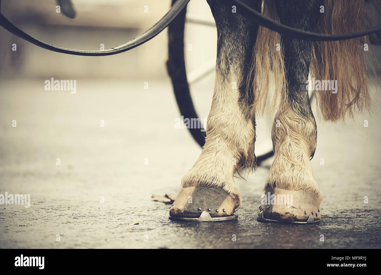 Horse-drawn transport. Hind legs of the horse harnessed in the carriage. - Stock Image