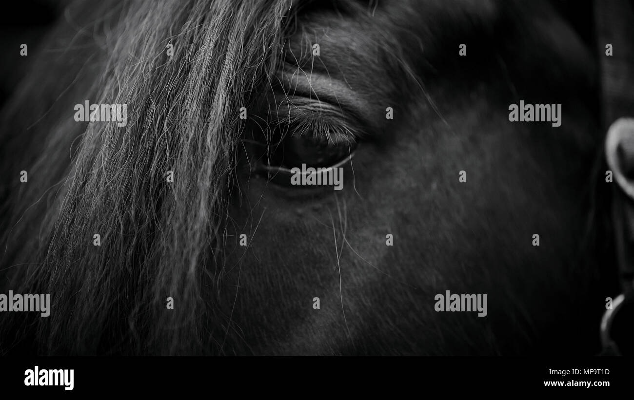 Eye of a horse. Muzzle of a horse. Stallion. Portrait of a horse. Thoroughbred horse. Beautiful horse. - Stock Image