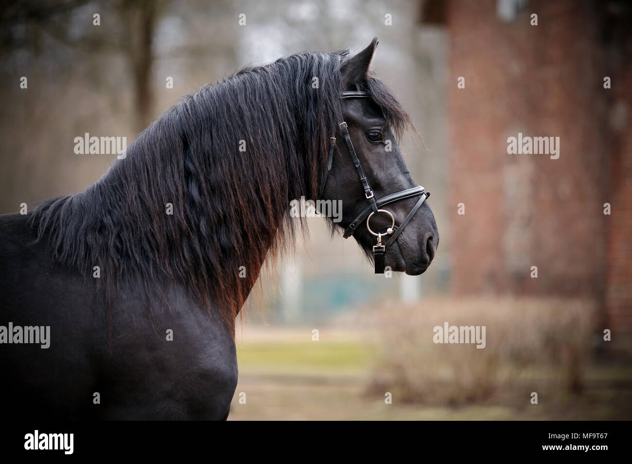 Black Stallion Portrait Of A Sports Black Horse Thoroughbred Horse Beautiful Horse Stock Photo Alamy