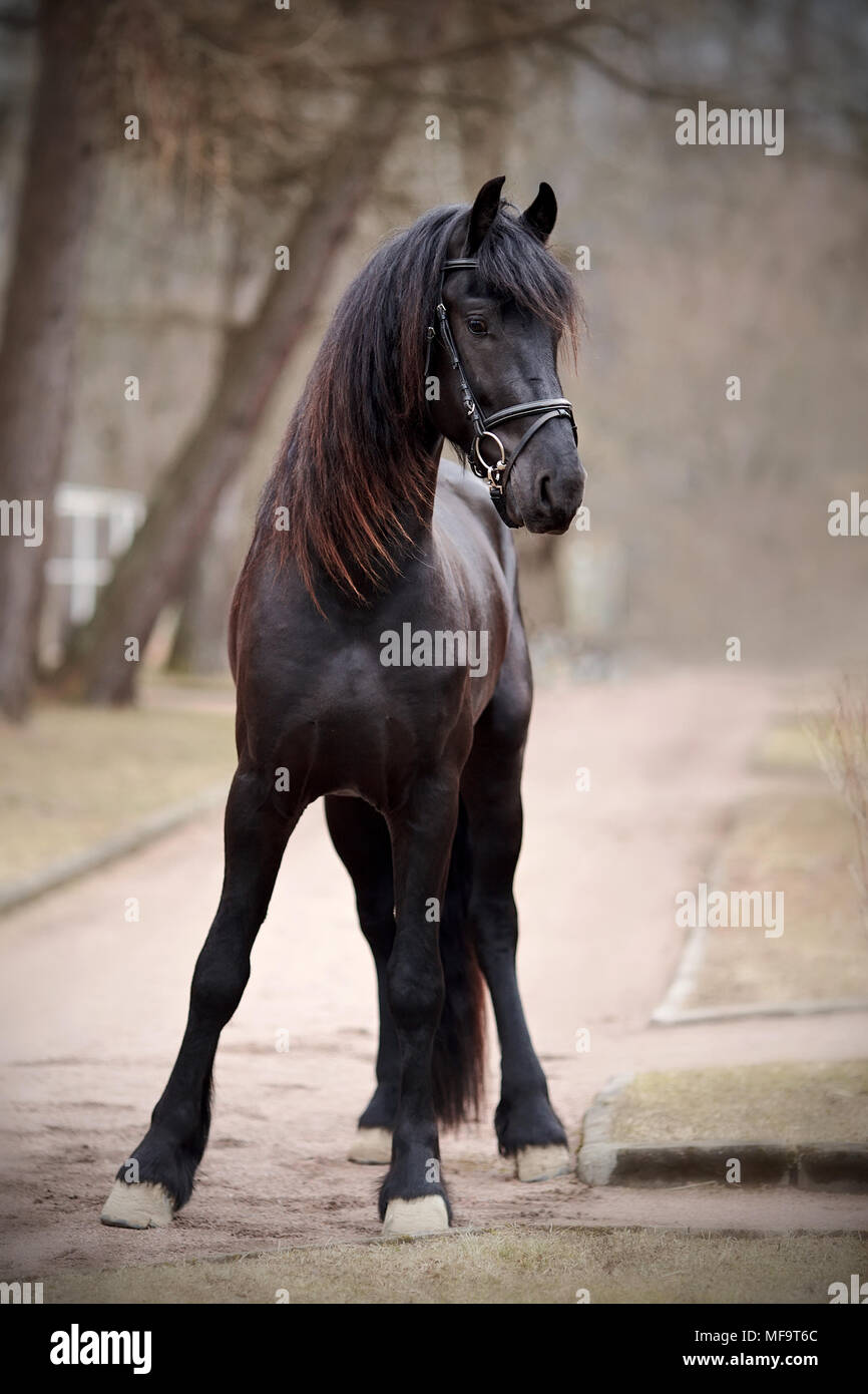 Black Stallion Sports Black Horse Thoroughbred Horse Beautiful Horse Stock Photo Alamy