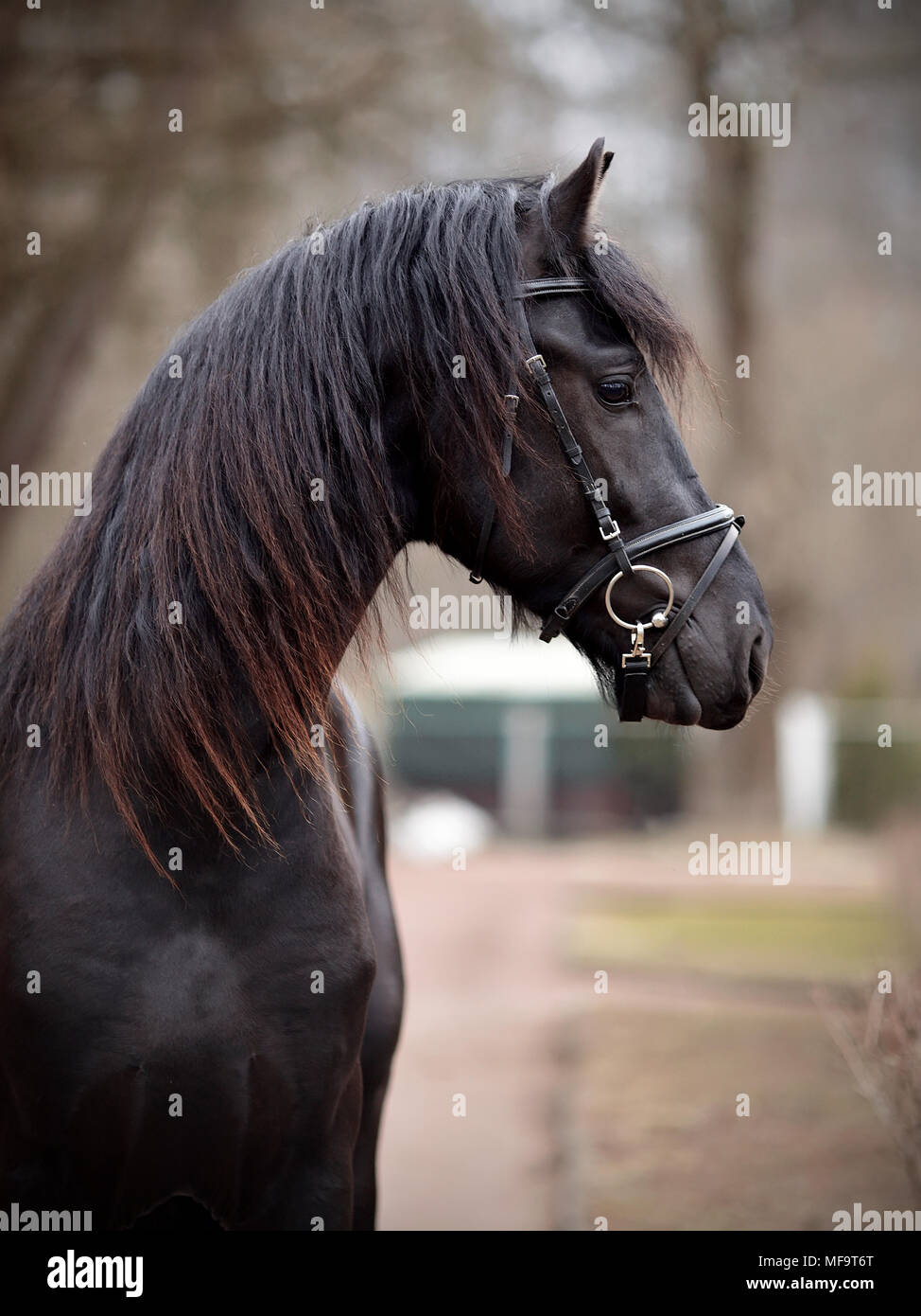 Black stallion. Portrait of a sports black horse. Thoroughbred horse. Beautiful horse. Sports horse. - Stock Image
