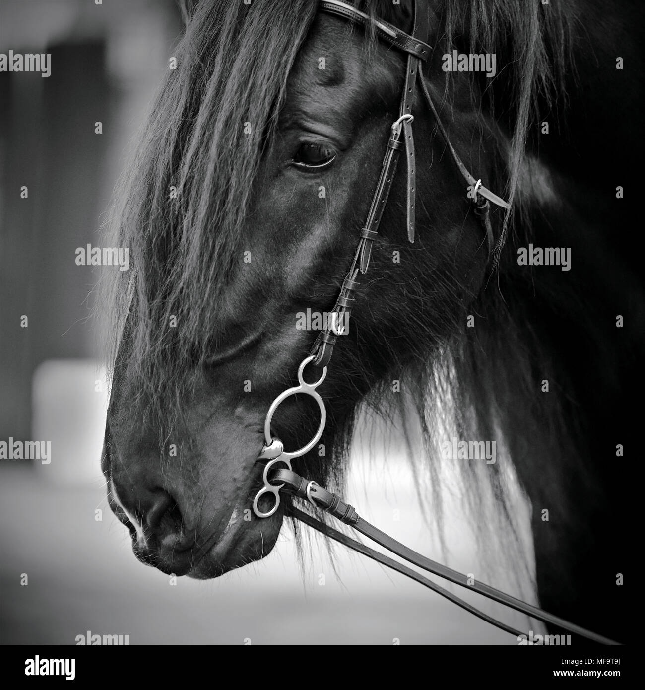 Muzzle of a horse. Stallion. Portrait of a horse. Thoroughbred horse. Beautiful horse. - Stock Image