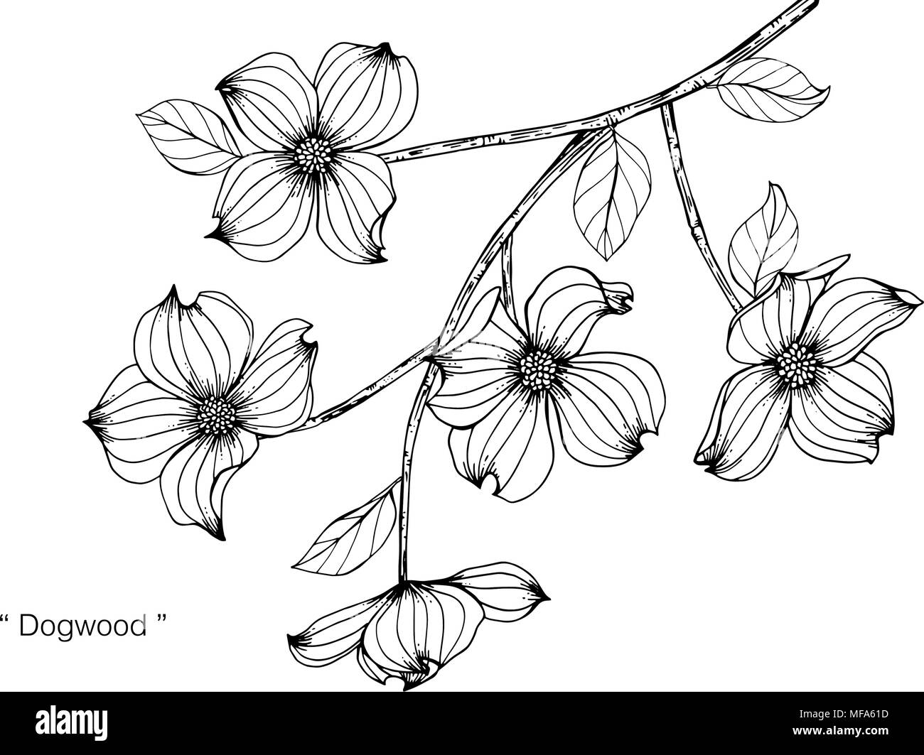 Dogwood Flower Drawing Illustration Black And White With Line Art
