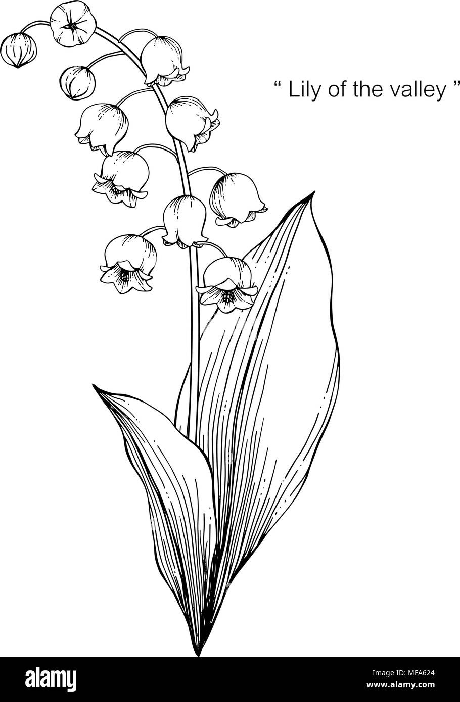 Lily Of The Valley Flower Drawing Illustration Black And White With
