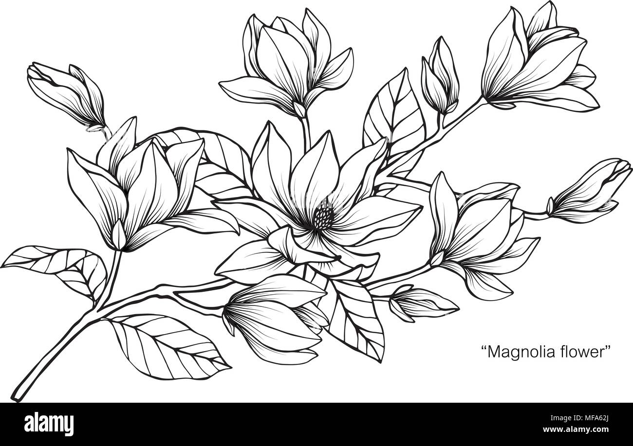Magnolia flower drawing illustration black and white with line art magnolia flower drawing illustration black and white with line art on white backgrounds mightylinksfo