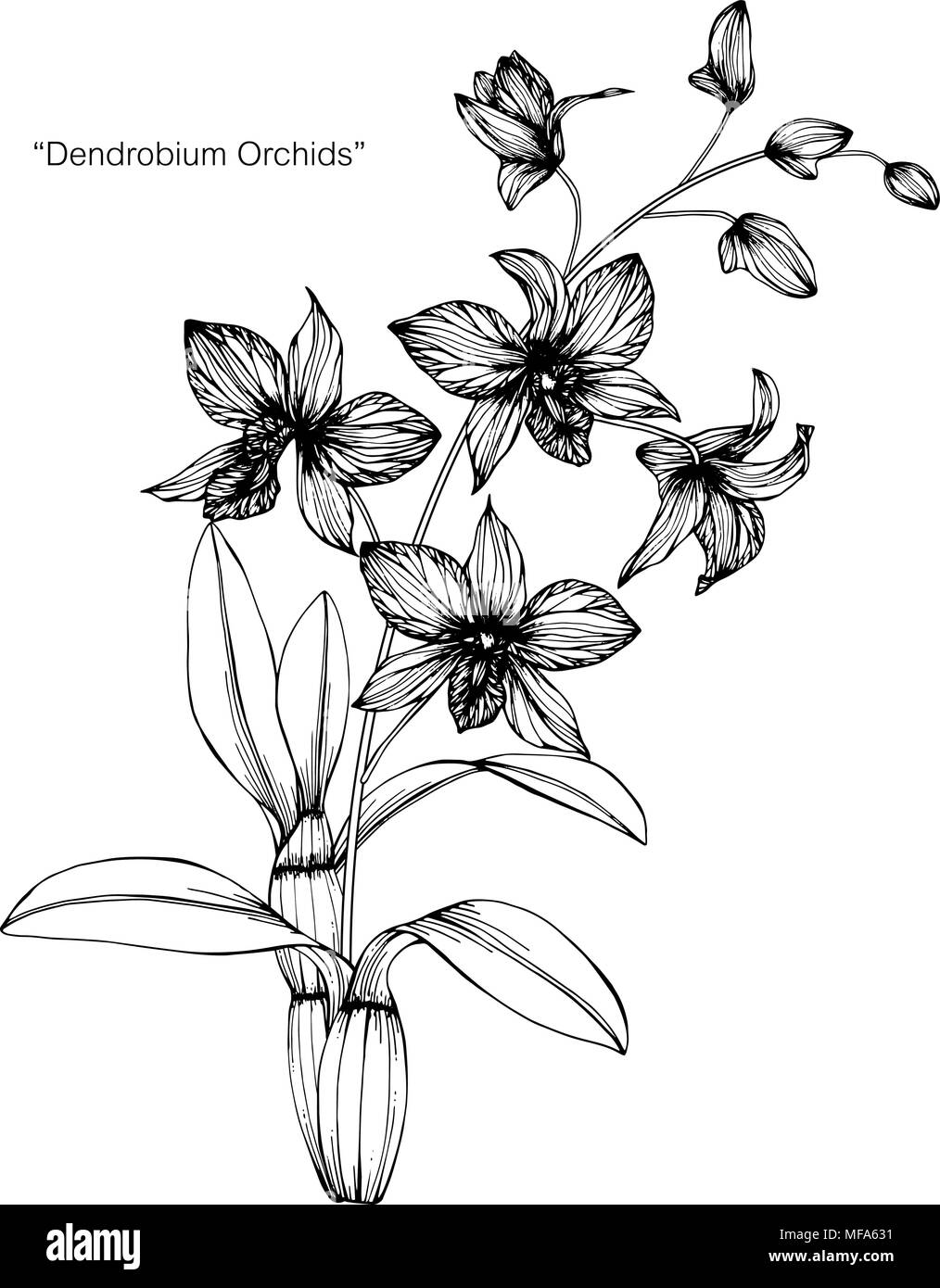 Orchid Flower Line Drawing : Orchid flower drawing illustration black and white with