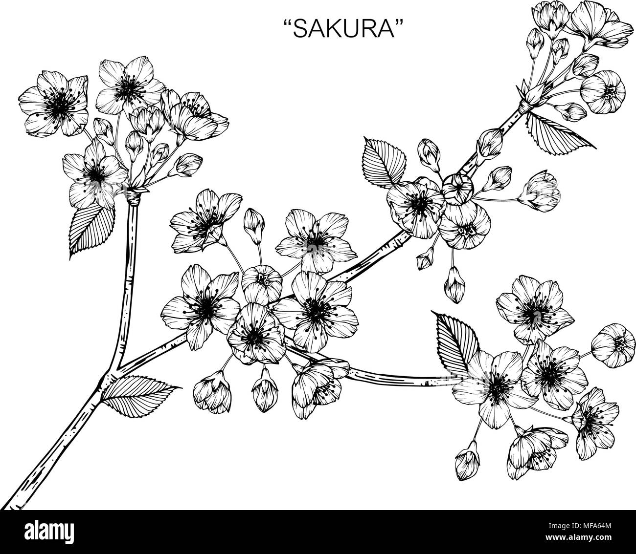 Sakura Flower Drawing Illustration Black And White With Line Art On