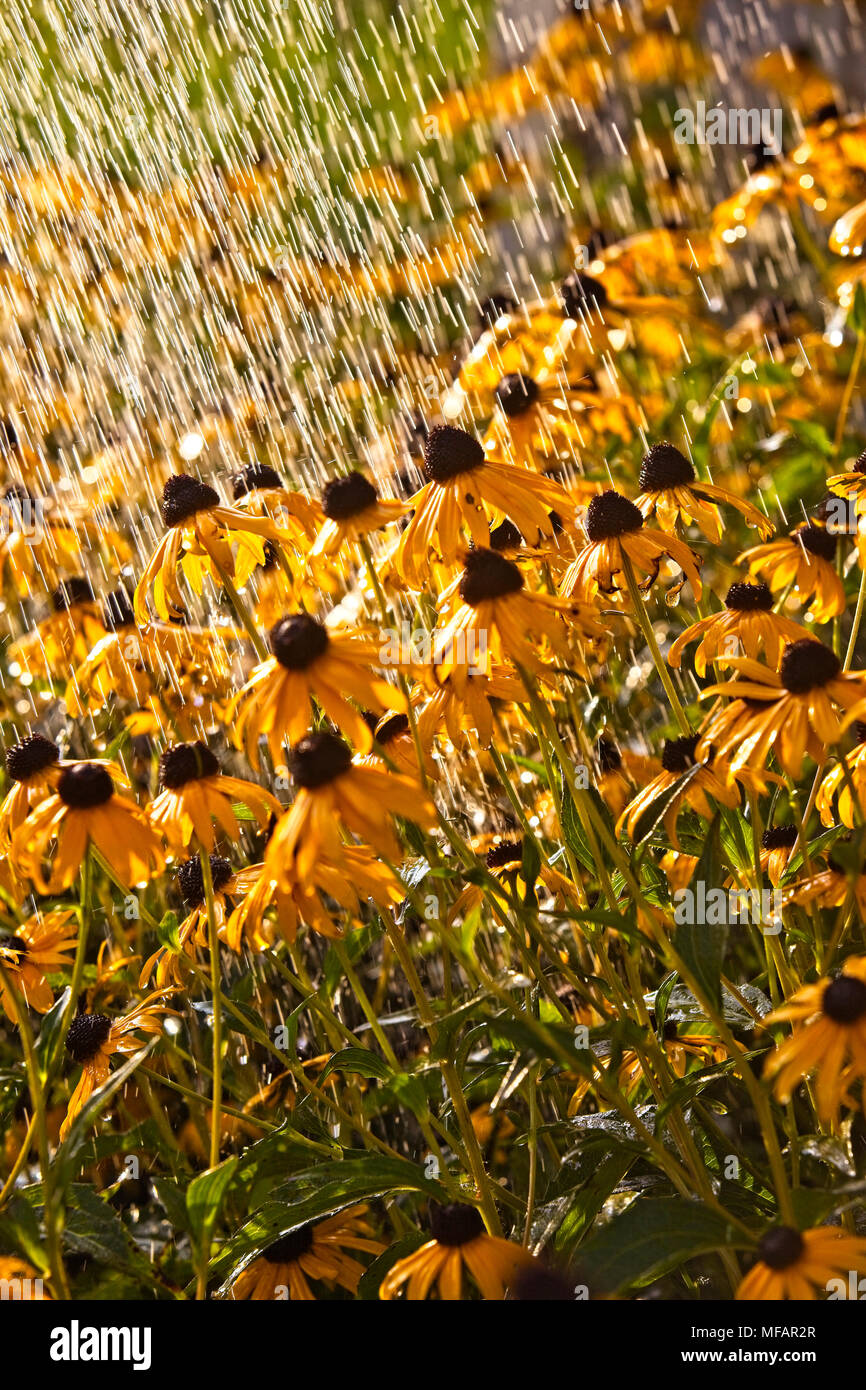 Gorgeous yellow Black eyed Susan's during a summer rain storm - Stock Image
