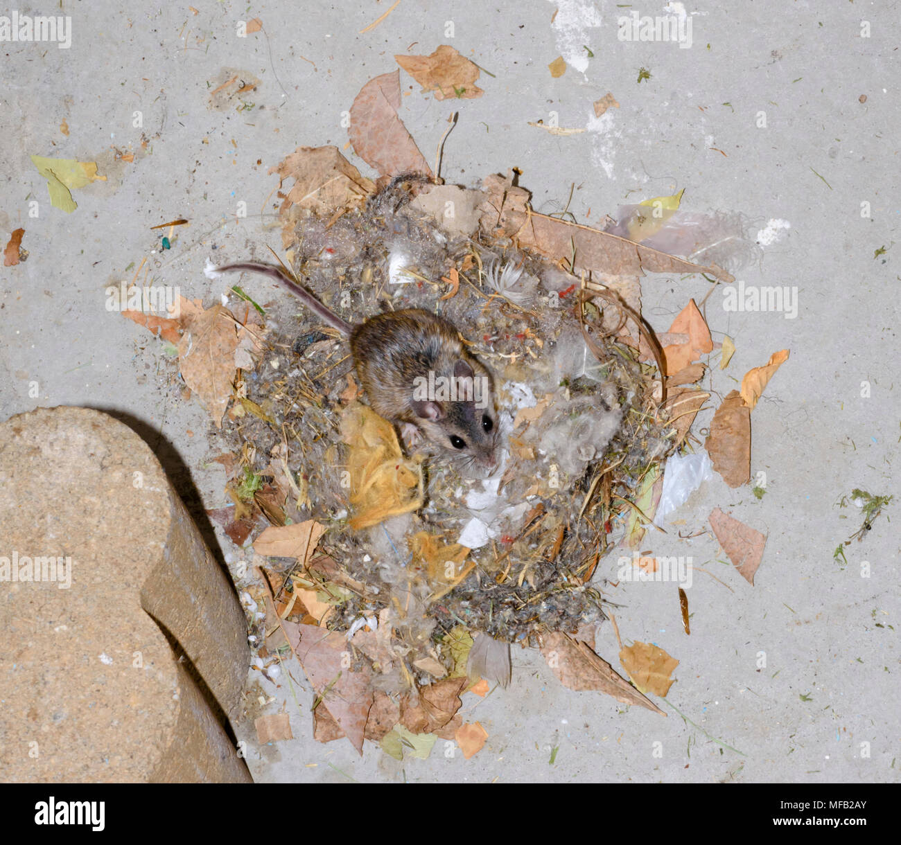 Deer Mouse and nest made from available materials- leaves, trash and bits of twigs and debris. Taken above concrete floor of auto garage, Colorado US. - Stock Image
