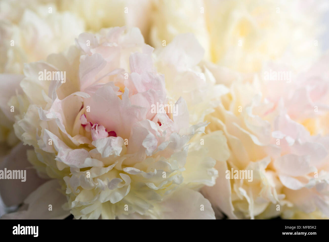 Beautiful Flowers Peonies Bouquet Of Pink Peony Background Stock