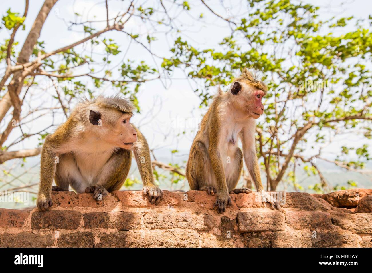 Red faces macaque (Macaca fuscata) on top of the  SIgiriya mount Stock Photo