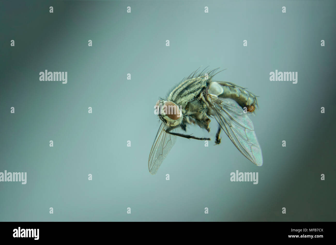 single black fly flying in home - detailed insect - Stock Image