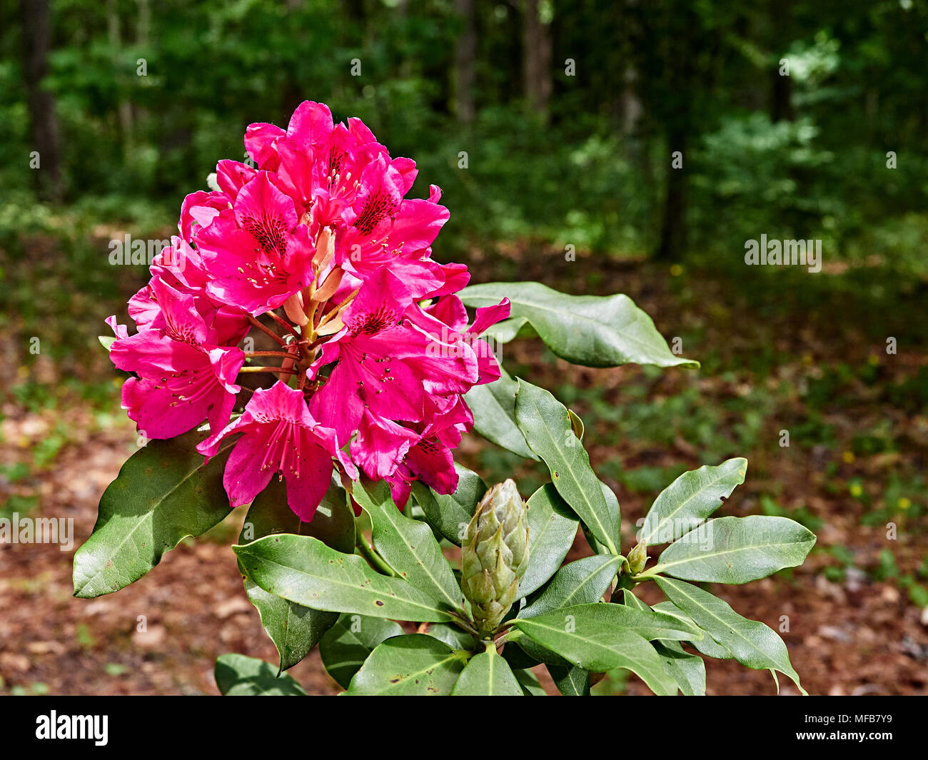 Dark red Nova Zembla Rhododendron plant blooming in a garden setting, Montgomery Alabama, USA. - Stock Image