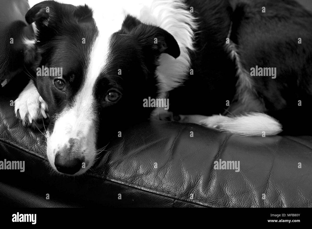 Border Collie relaxing at Home - Stock Image