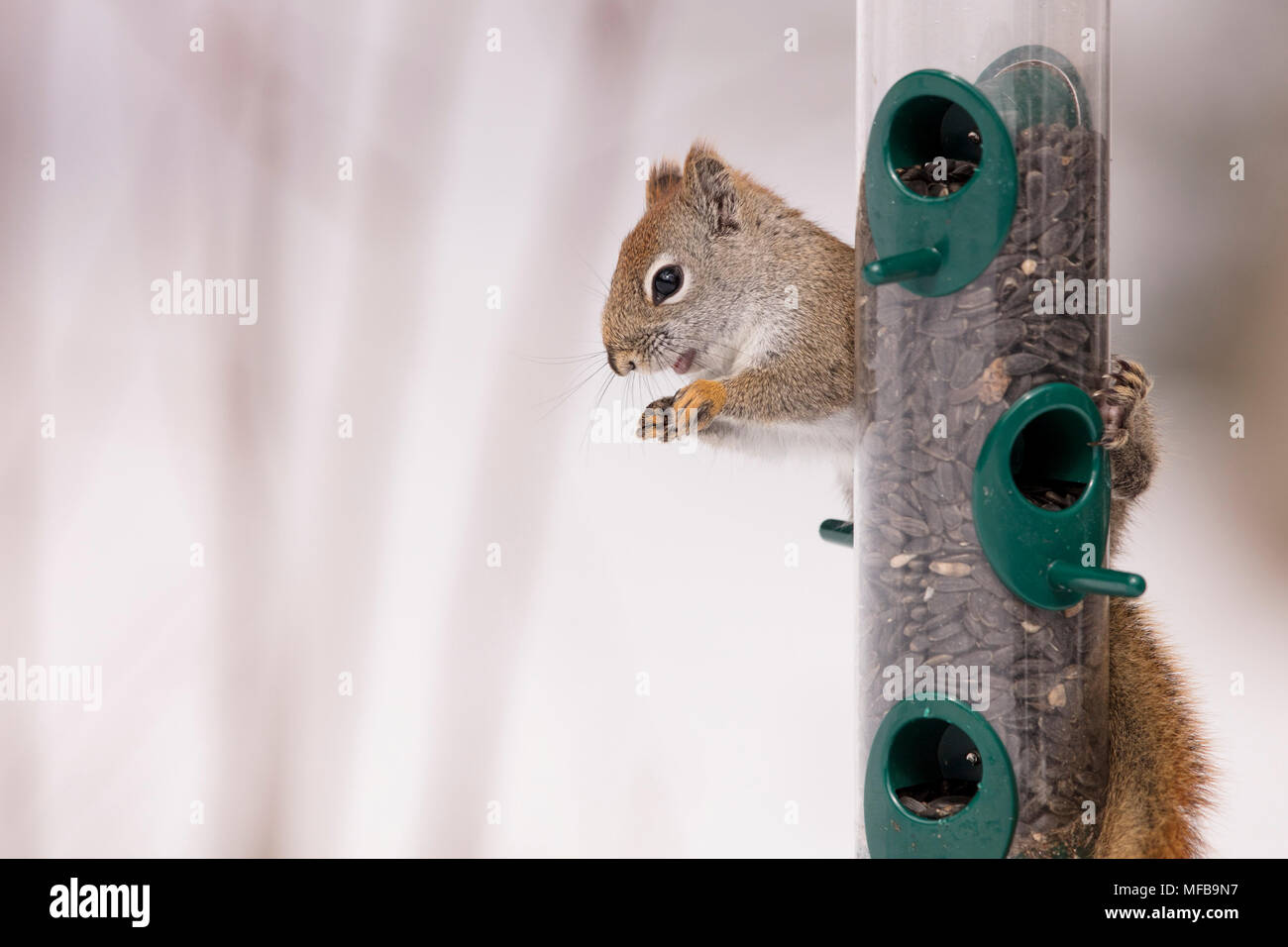 MAYNOOTH, ONTARIO, CANADA - April 06, 2018: A red squirrel (Tamiasciurus hudsonicus), part of the Sciuridae family forages for food.  ( Ryan Carter ) - Stock Image