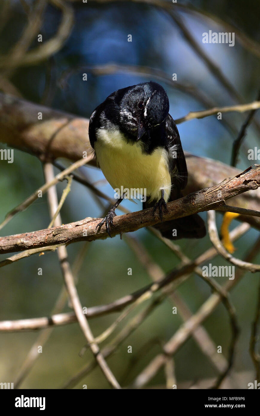 An Australian, Queensland Willie Wagtail, Rhipidura leucophrys looking for food Stock Photo