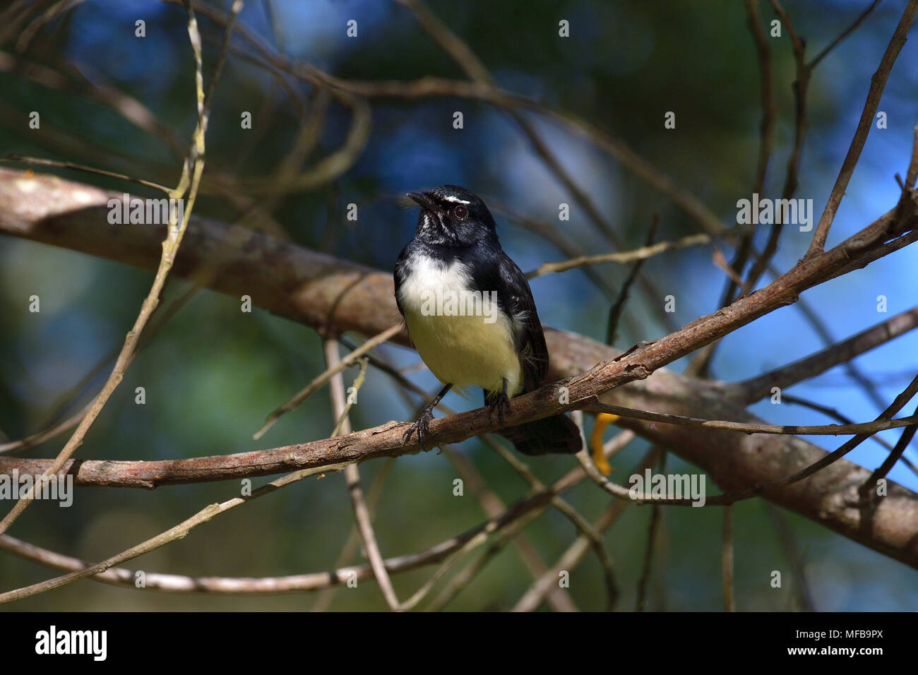 An Australian, Queensland Willie Wagtail, Rhipidura leucophrys resting on a Tree branch - Stock Image