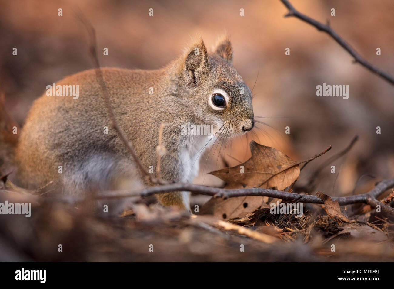 MAYNOOTH, ONTARIO, CANADA - April 23, 2018: A red squirrel (Tamiasciurus hudsonicus), part of the Sciuridae family forages for food.  ( Ryan Carter ) - Stock Image