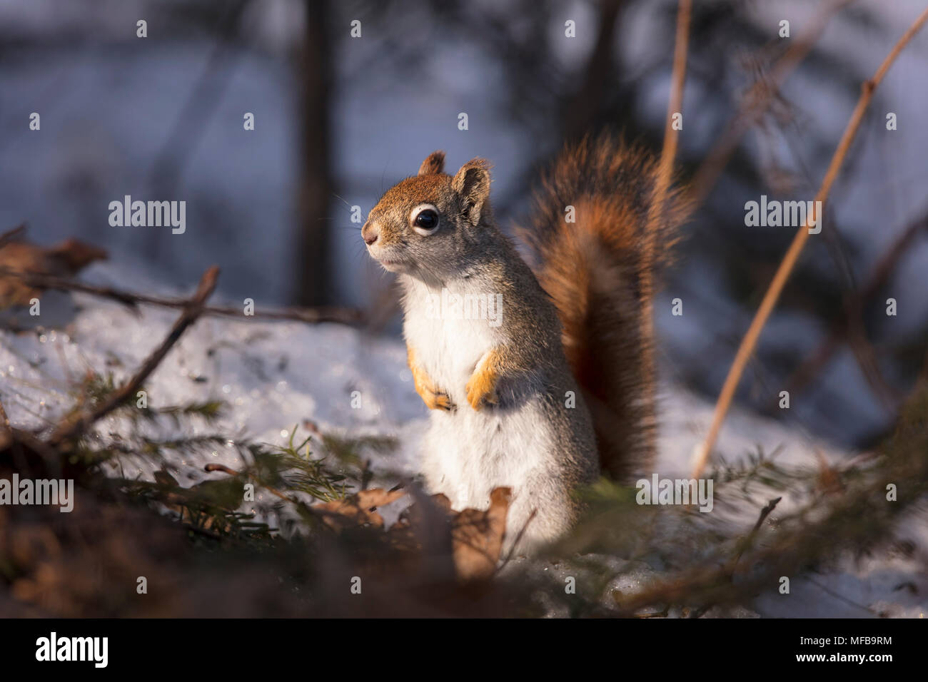 MAYNOOTH, ONTARIO, CANADA - April 23, 2018: A red squirrel (Tamiasciurus hudsonicus), part of the Sciuridae family forages for food.  ( Ryan Carter ) Stock Photo