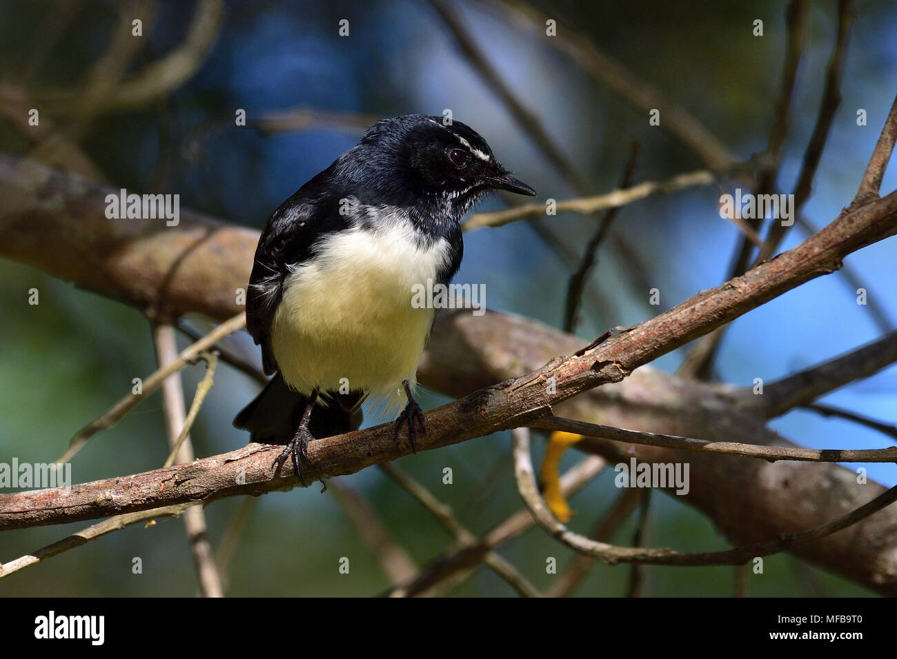 An Australian, Queensland Willie Wagtail, Rhipidura leucophrys looking for food - Stock Image