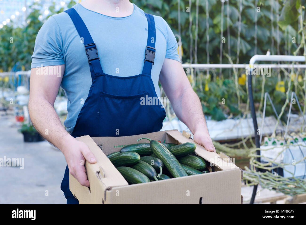 Farmer with Box of Cucumbers - Stock Image