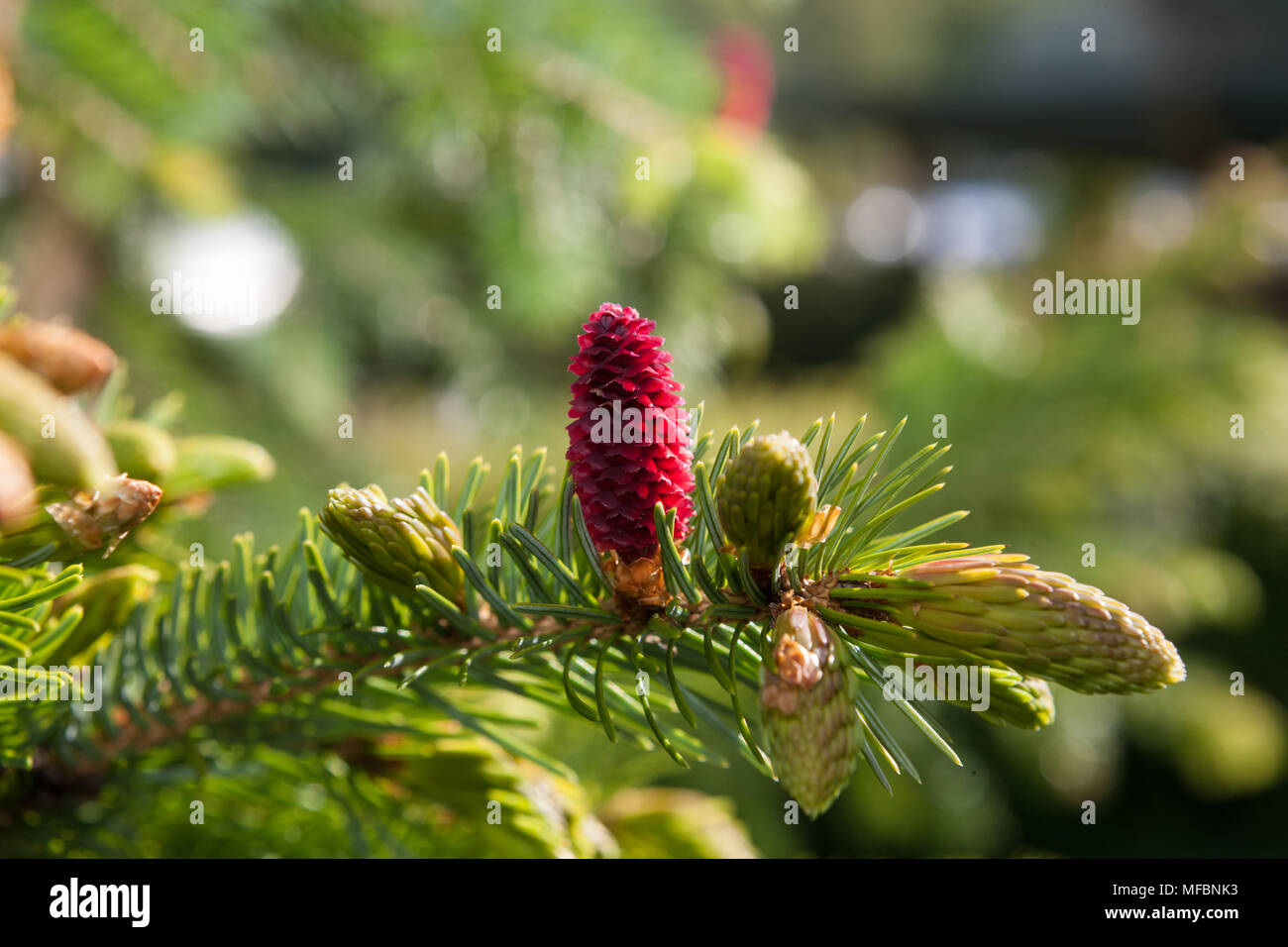 Jezo spruce, Ajangran (Picea jezoensis) - Stock Image
