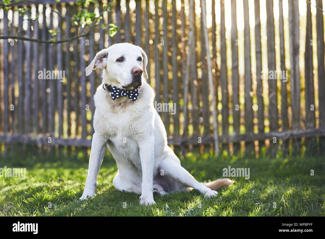 Dog on the garden at the sunset. Labrador retriever with bow tie sitting on the grass against wooden fence. - Stock Image