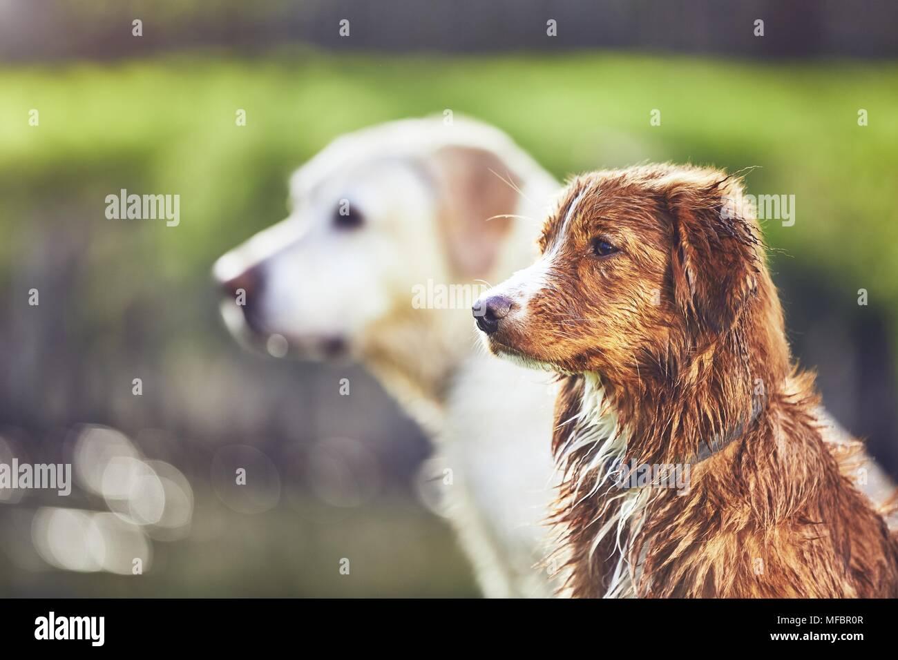 319e4224d9768 Two friendly dogs in summer nature. Labrador Retriever and Nova Scotia Duck  Tolling Retriever sitting