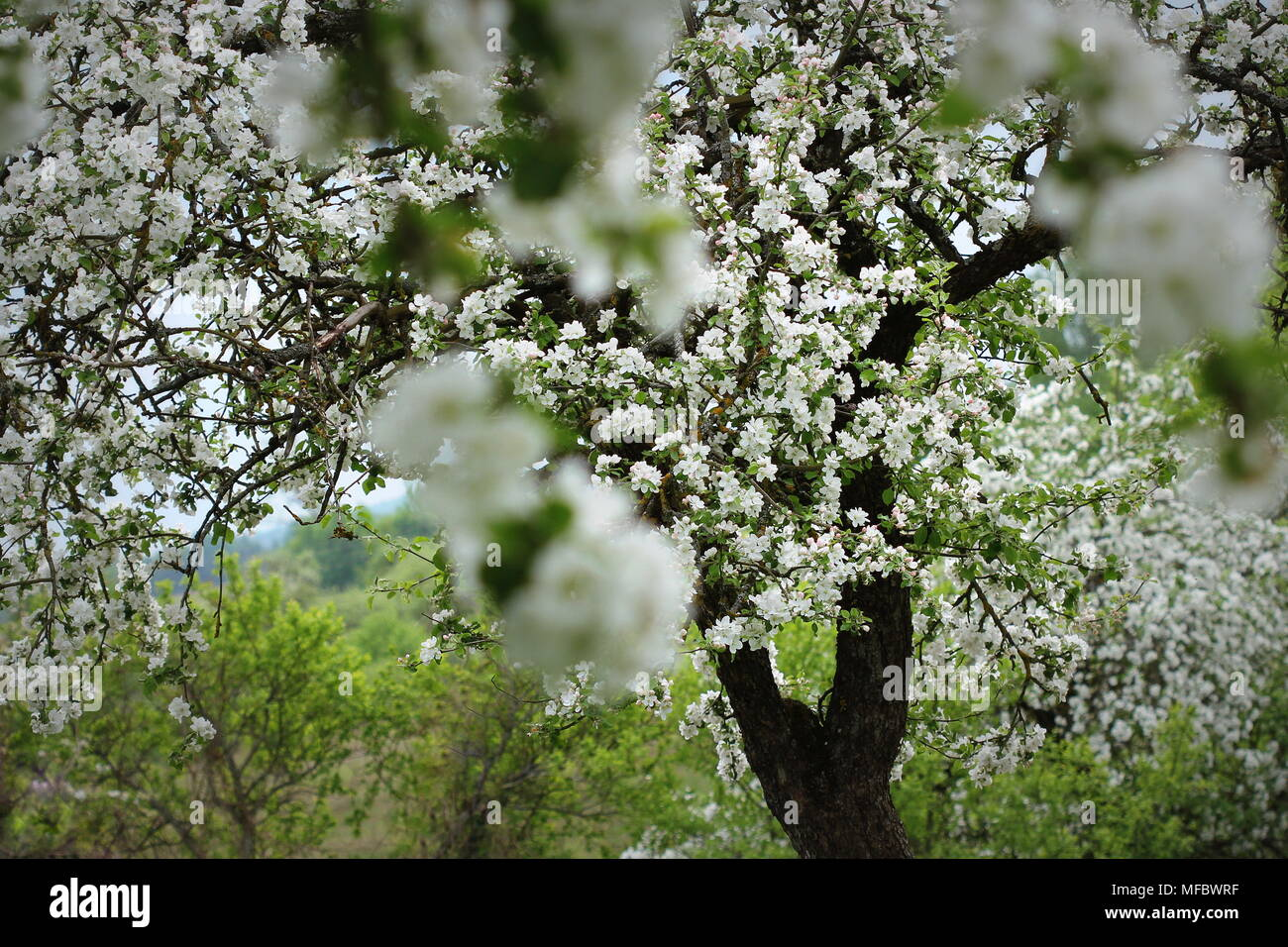 Spring blossom background. Beautiful nature scene with blooming tree of apple - Stock Image