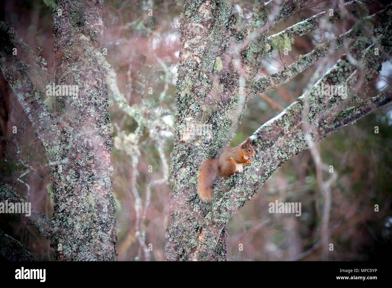 A red squirrel after a snow storm in the Glenmore forest near Aviemore in the Cairngorms national park in Scotland Stock Photo