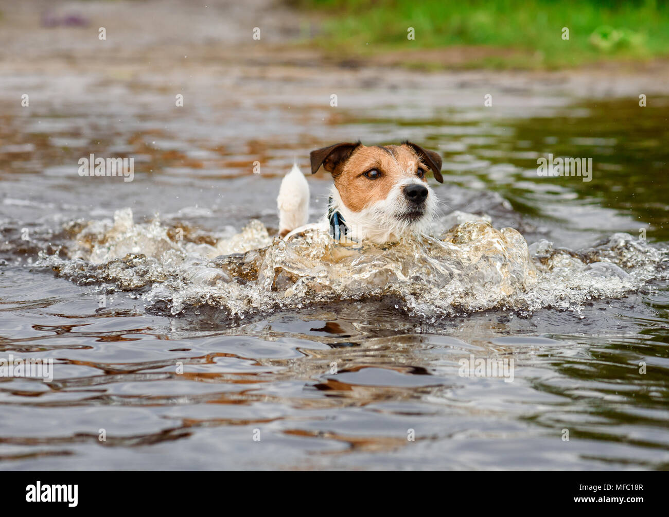 Dog wading in water cooling down at hot summer day - Stock Image