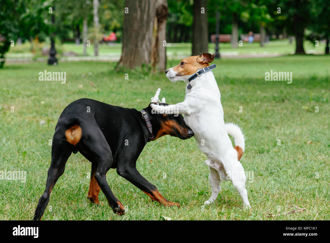 Jack Russell Terrier dog playing with playful Doberman Pinscher puppy at park - Stock Image
