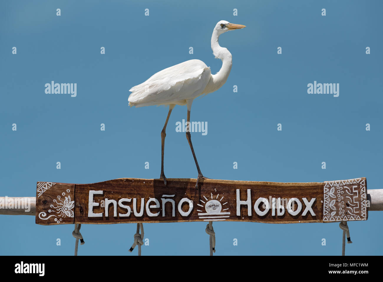 Great Egret (Ardea alba) on a wooden frame, holbox, mexico - Stock Image