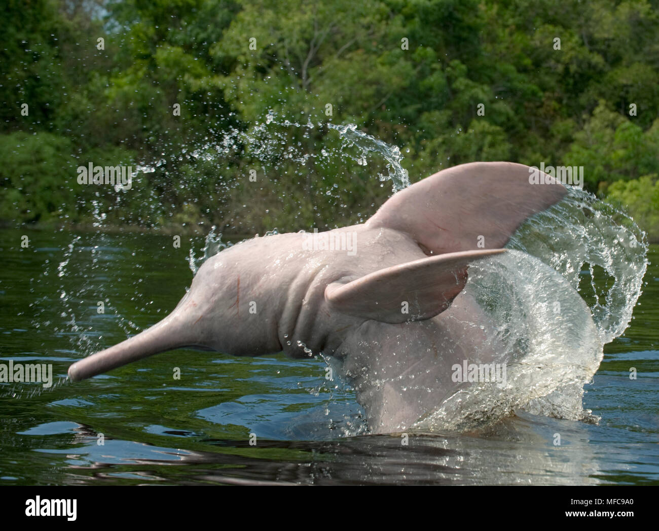 Amazon River Dolphins (Inia geoffrensis) Ariau River, tributary of Rio Negro. Amazonia, Brazil - Stock Image
