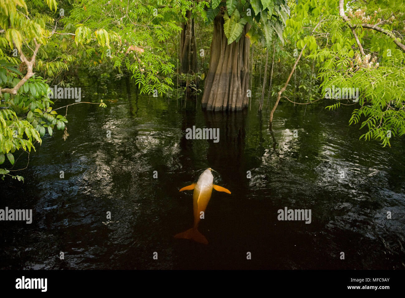 Amazon River Dolphin or Boto (Inia geoffrensis) In flooded forest,  Rio Negro, Amazonia, Brazil - Stock Image