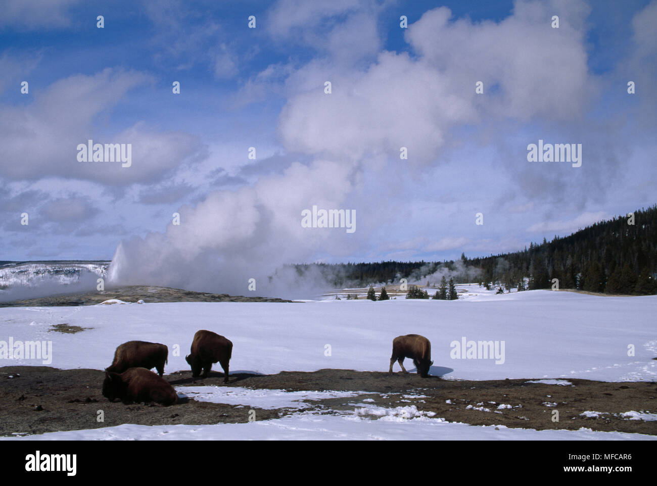 American Bison Group Bison Bison At Old Faithful Geyser