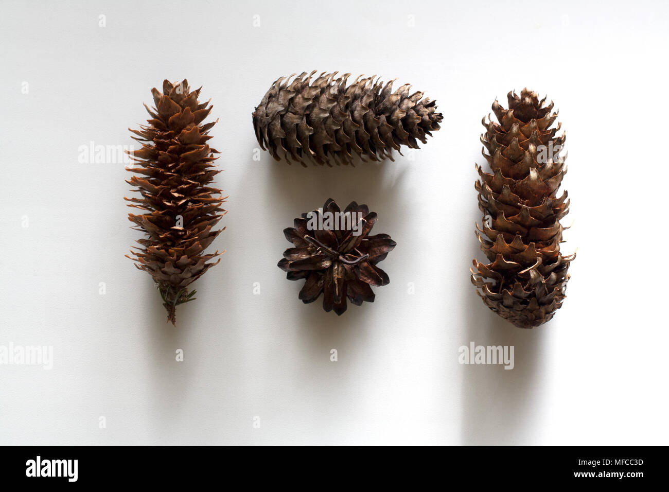 Four conifer cones isolated on white background from a high angle view - Stock Image