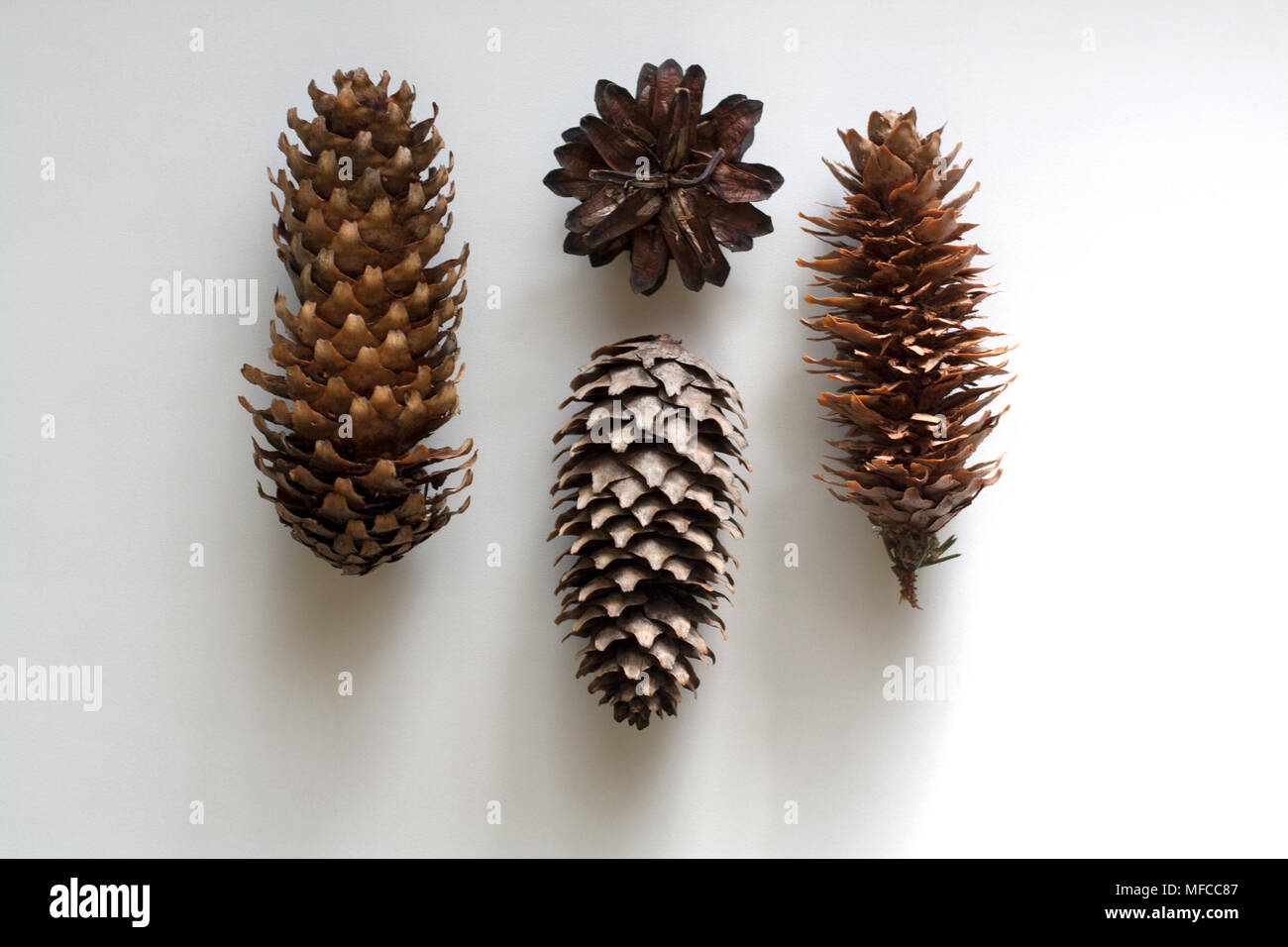 Conifer cones set isolated on white background from a high angle view - Stock Image