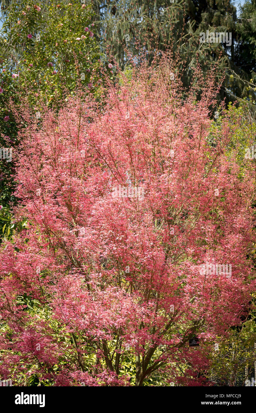 Acer Palmatum Wilson S Pink Dwarf Showing Pale Pink Foliage In