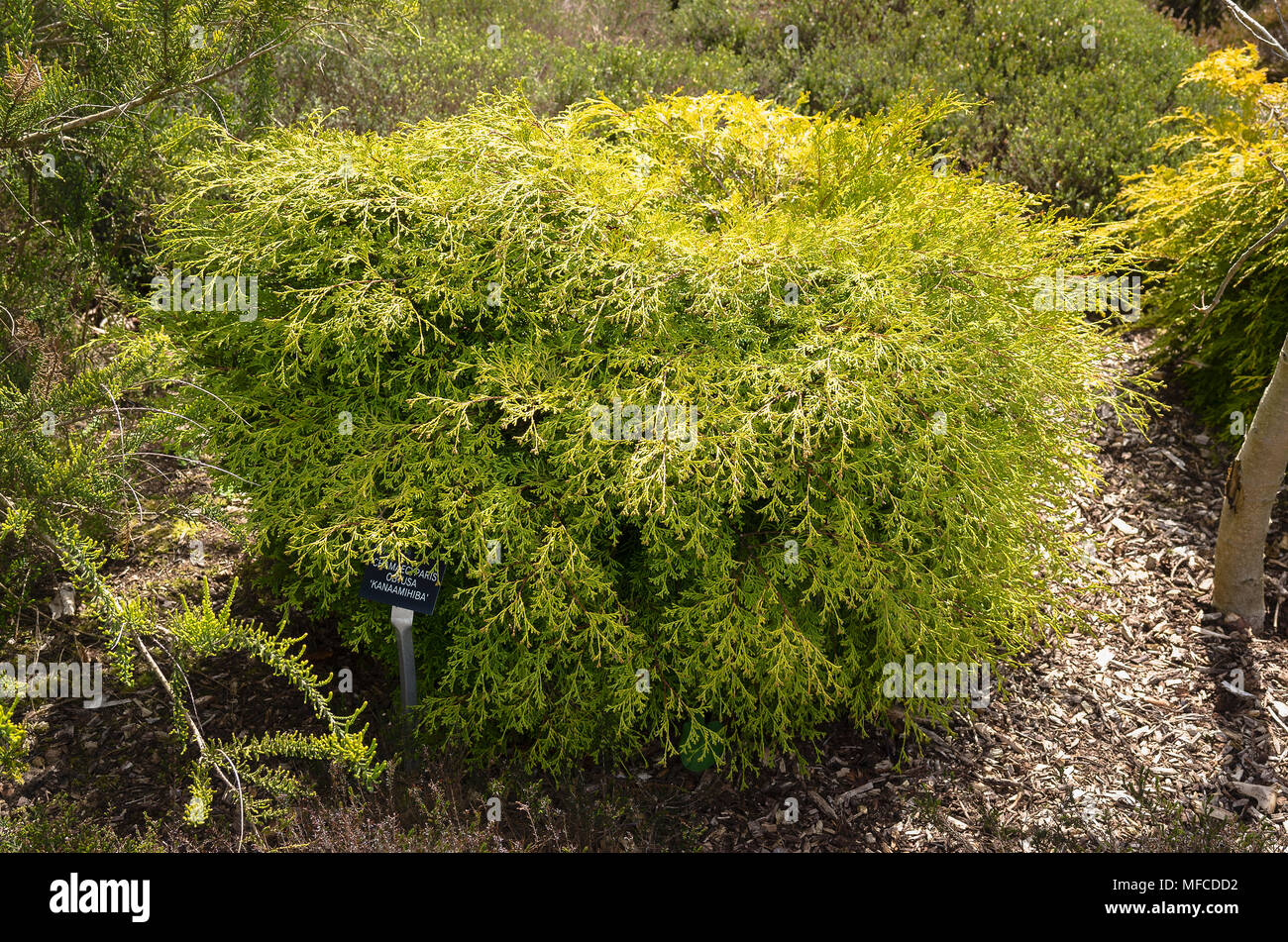 Chamaecyparis obtusa Kanamachiba evergreen conifer in an English garden - Stock Image