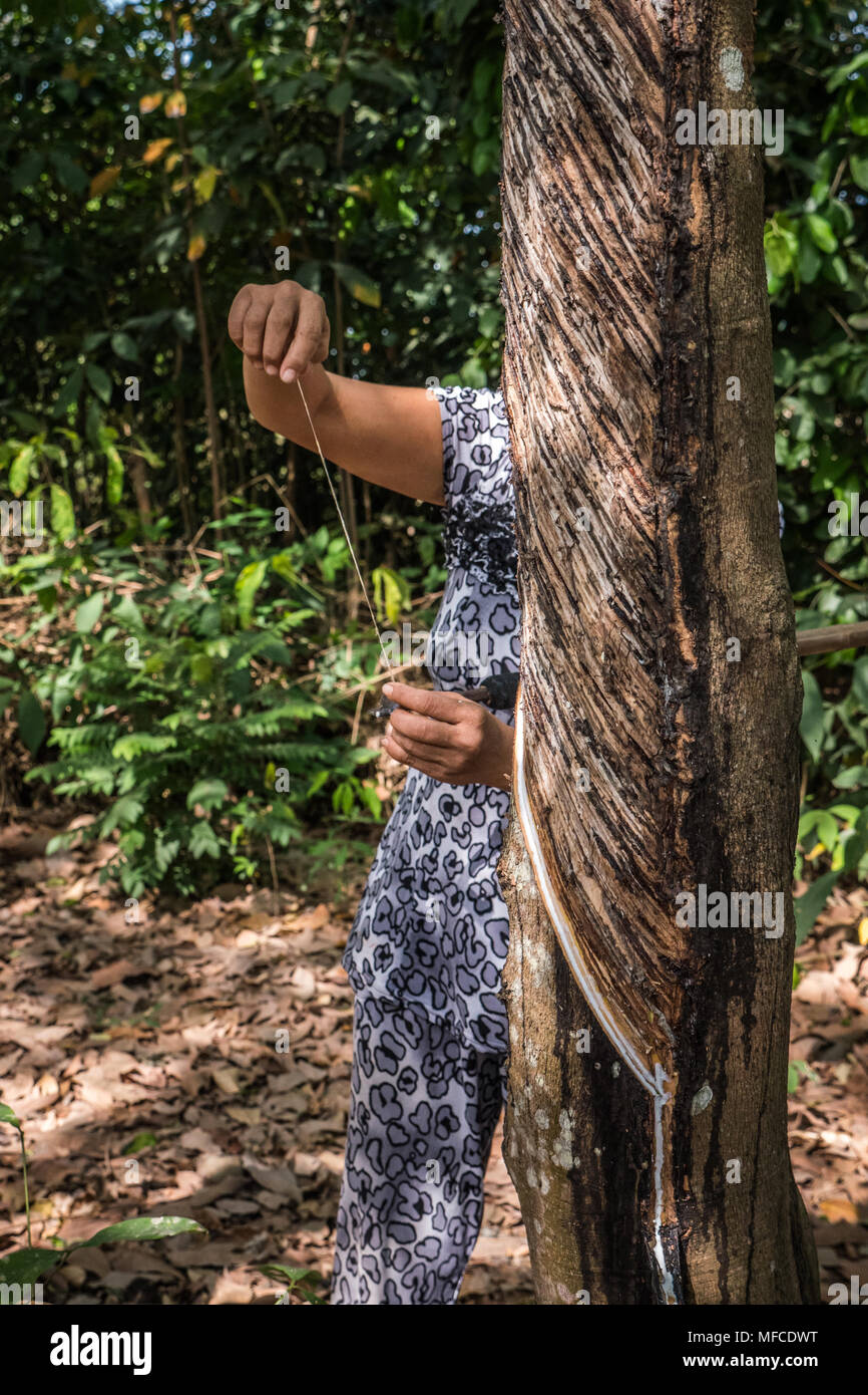 Vietnamese adult female demonstrating tapping a rubber tree in woodland clearing. Ho Chi Minh Province, Vietnam, South East Asia - Stock Image