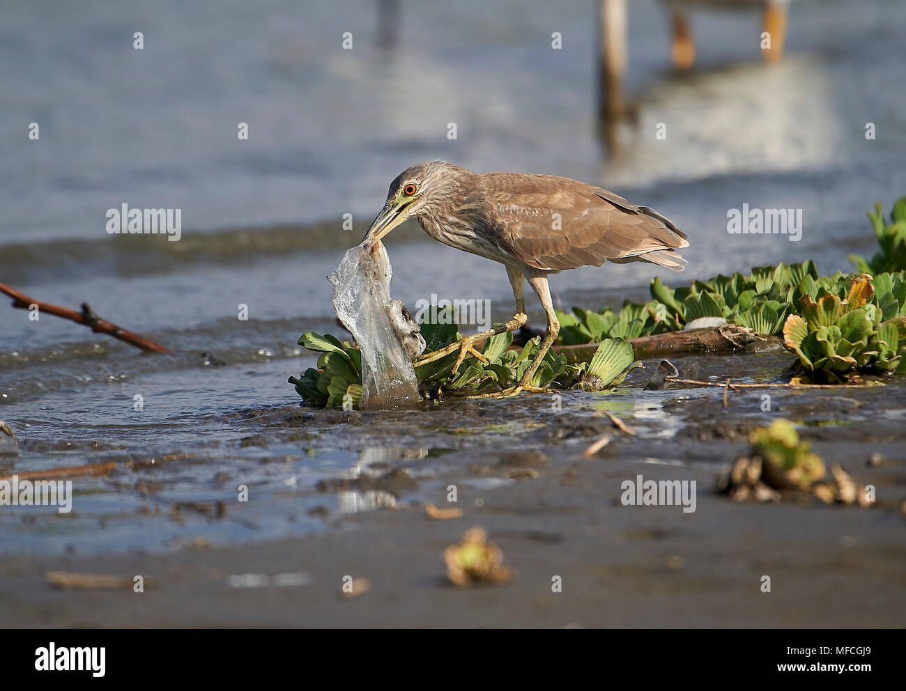 Immature Black-crowned Night Heron (Nycticorax nycticorax) attempts to swallow a plastic bag - Stock Image